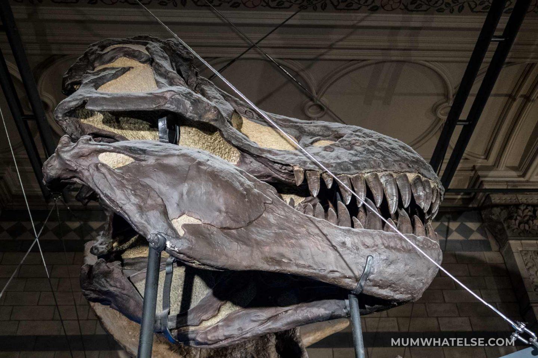 La gigantesca mascella di un T-Rex al Natural History Museum di Londra