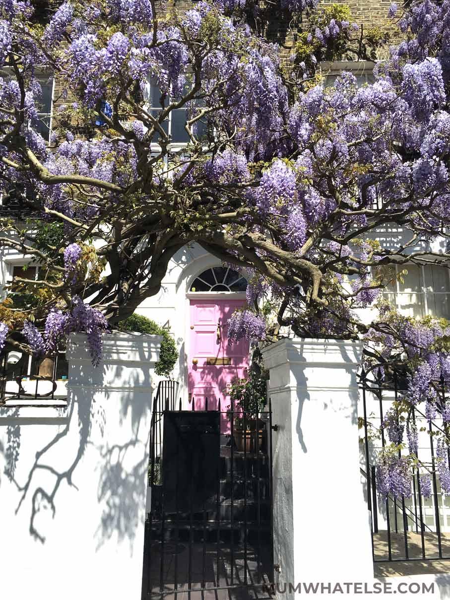 una porta rosa di una casa londinese a Notting HIll con il glicine che la circonda