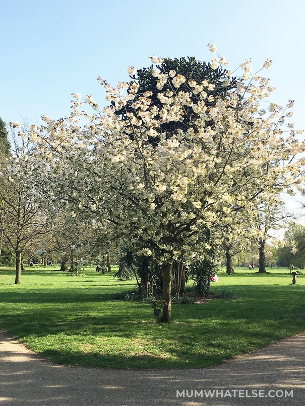 Cherry Blossom in London