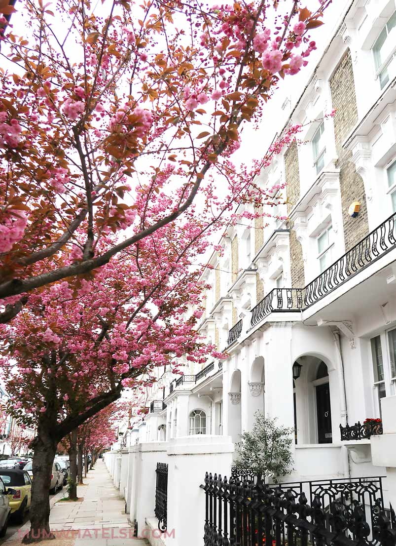 Cherry Blossom at The Little Boltons-Chelsea