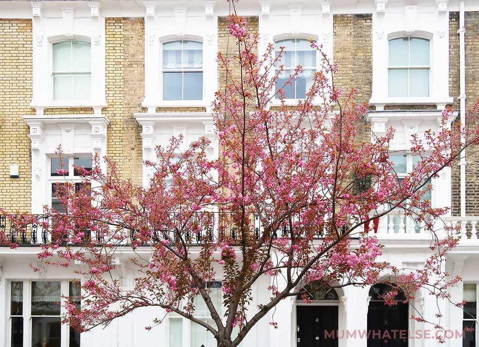 Stupendo ciliegio in fiore in Redcliff road - Chelsea - Londra