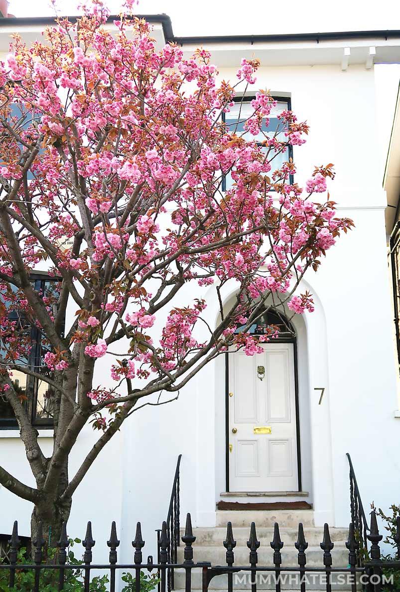 Ciliegio in fiore davanti a casa a Londra
