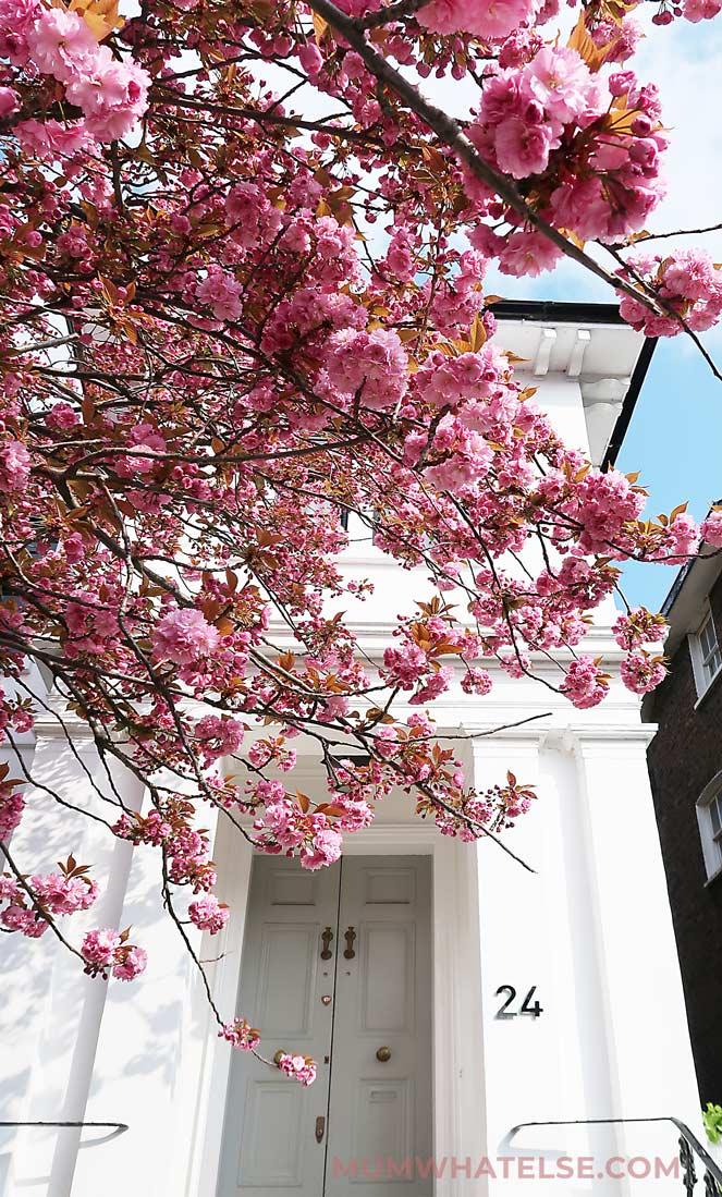 ciliegio in primo piano e porta grigia di una casa vittoriana a Londra