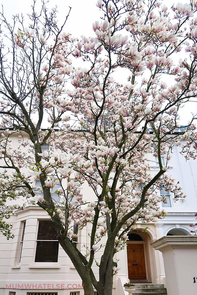 Albero di magnolia davanti a una casa bianca in Kensington a Londra
