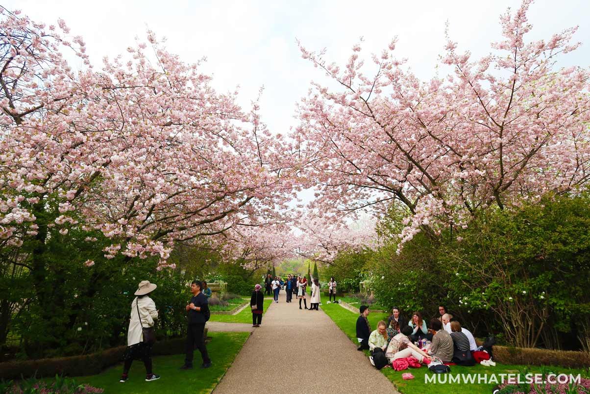 Ciliegi in fiore a Regents park