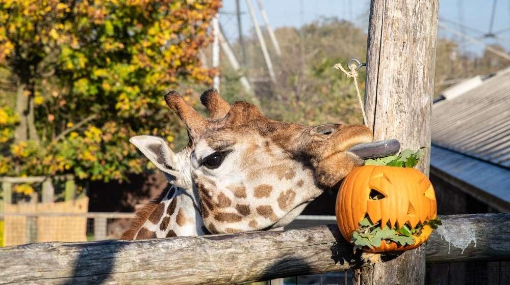 una giraffa che mangia da una zucca