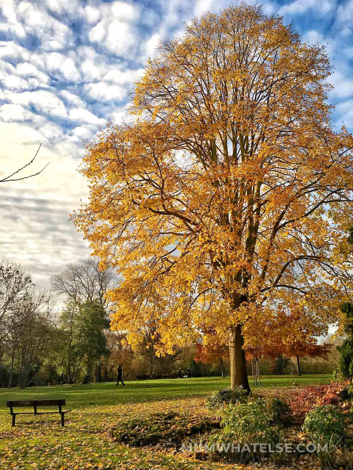 un grande albero in primo piano con le foglie gialle in un parco e vicino una panchina